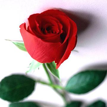 红玫瑰百科资料