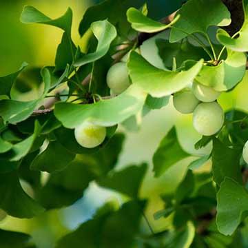 银杏的花语和传说是什么,银杏的养殖方法有哪些?