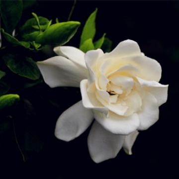 栀子花的养殖方法和花语含义是什么?