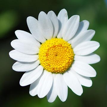 雏菊花的花语含义和传说是什么?