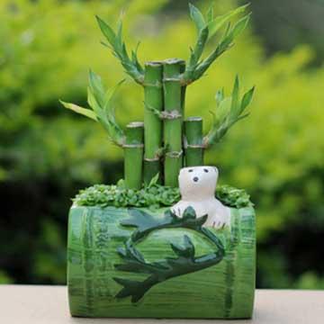 富贵竹的水养方法和盆栽的养殖方法有哪些?