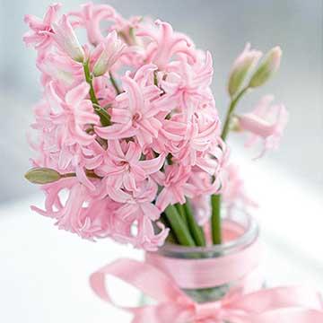 粉色风信子