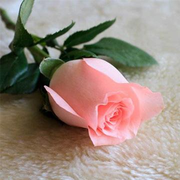 一枝粉玫瑰
