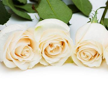 3朵白玫瑰图片