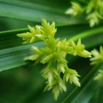 风车草的养殖方法和注意事项以及养护常识