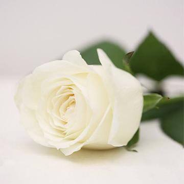 雪山白玫瑰