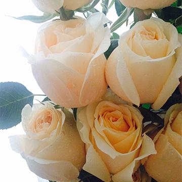 香槟玫瑰图片