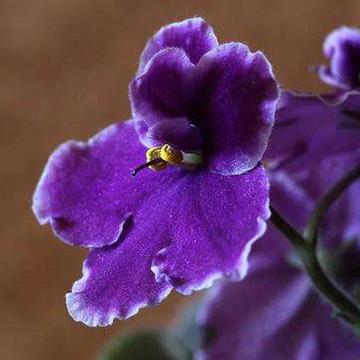 紫罗兰图片