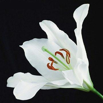 一朵百合花
