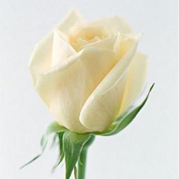 一朵白玫瑰