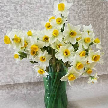 水仙鲜切花