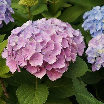 绣球花的种植