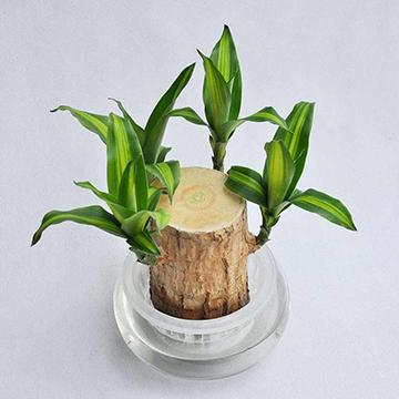 巴西木绿植