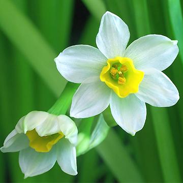 水仙花的养护