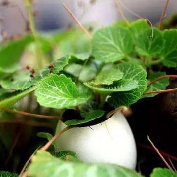 虎耳草的养殖方法