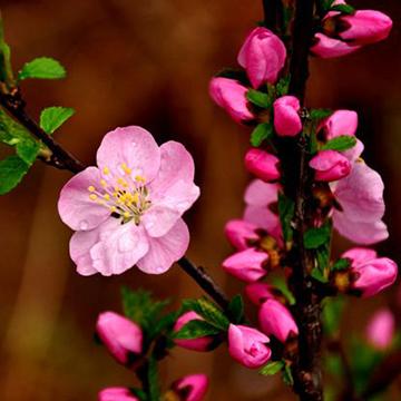 樱桃花的养殖方法