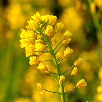 油菜花的养殖