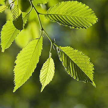 榆树的养殖方法