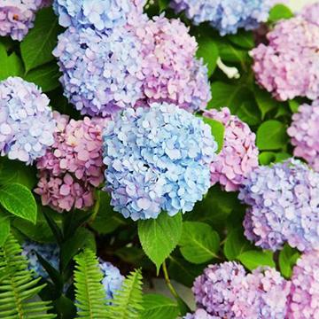 八仙花的养殖方法