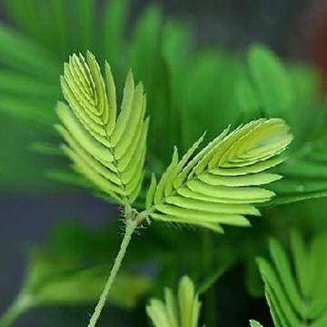 含羞草的叶子有毒吗