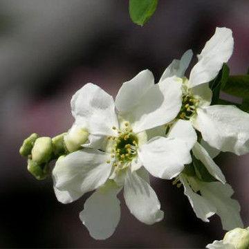 白鹃梅的养殖方法