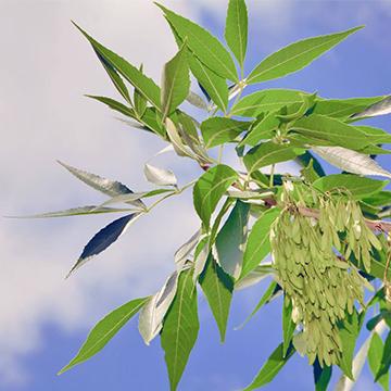 白蜡树的养殖方法