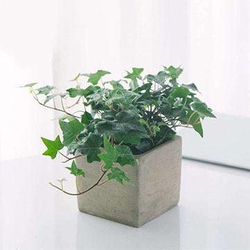 常青藤的种植