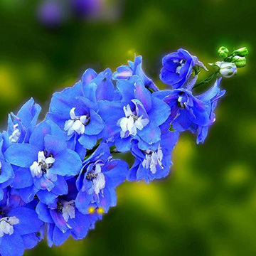 飞燕草的花语