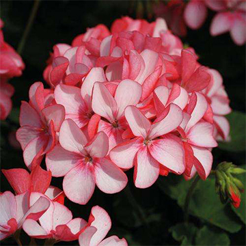 天竺葵的花语