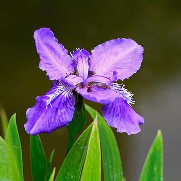 鸢尾花的花语