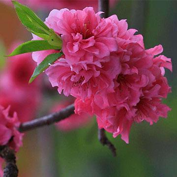 碧桃花的养殖方法
