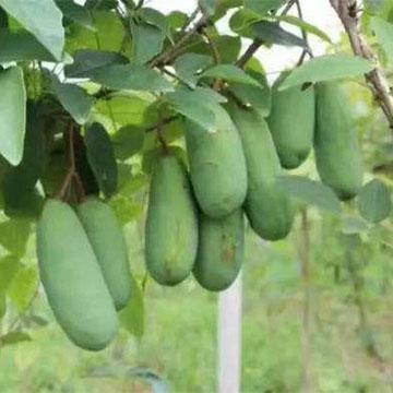 八月瓜的养殖方法