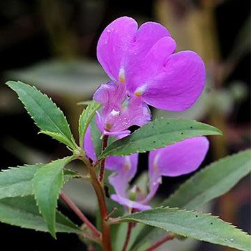 凤仙花的病虫害防治