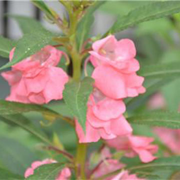 凤仙花的花语