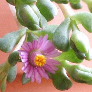 白凤菊的养殖方法