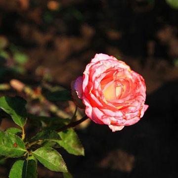 刺蔷薇的养殖方法
