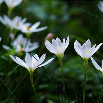 葱兰花的养殖方法