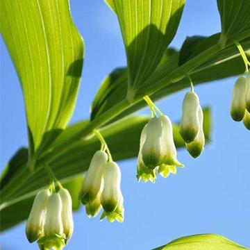玉竹的养殖方法