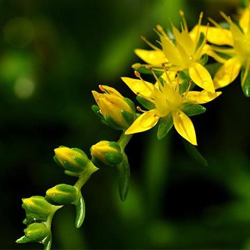 垂盆草的养殖方法