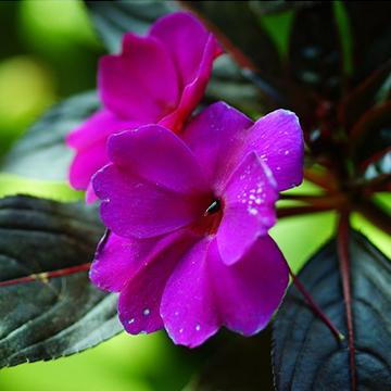 凤仙花的养殖方法