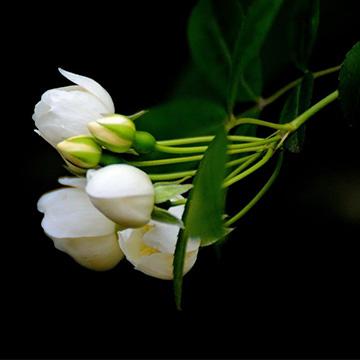 七里香的花语
