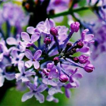 丁香花常见的虫害