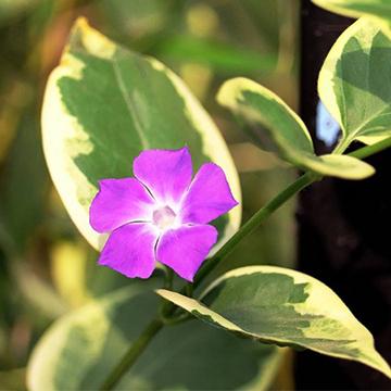 花叶蔓长春的养殖方法