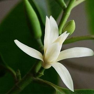 白兰花的养殖方法