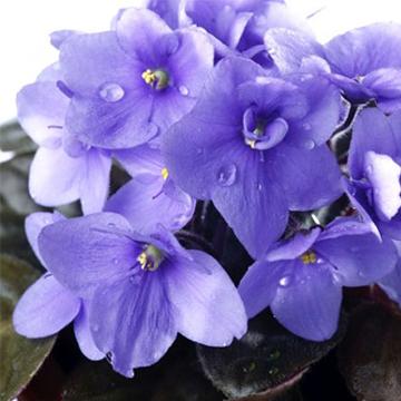 紫罗兰的养殖方法