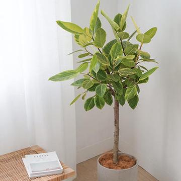 高山榕的养殖方法