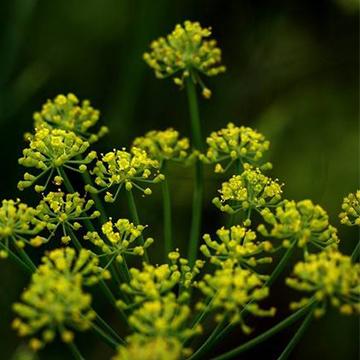 养殖茴香常见的病虫害有哪些
