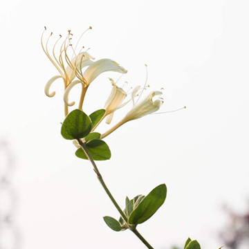 金银花的养殖方法