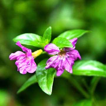 紫萼距花的养殖方法