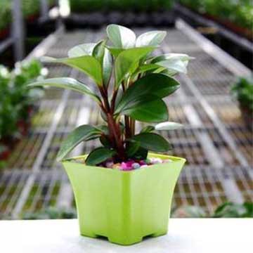 紫边碧玉椒草的养殖方法